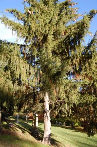 2009_10_25_NorwaySpruce (2)