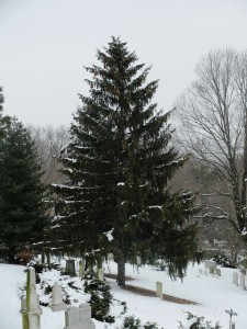 Picea Abies Norway Spruce Mount Auburn Cemetery