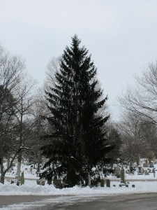 2015_NorwaySpruce (26)