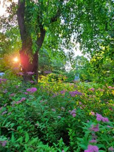 Purple flowers cover the ground beneath a tree with weeping branches.  In the background, a beam of golden light from the setting sun shines through tree branches.