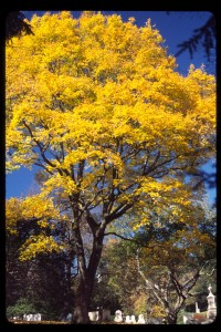 Acer platanoides H y