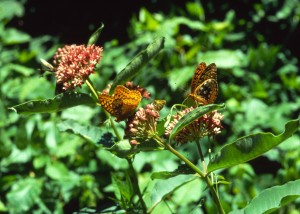 Asclepias w great spangled fritillary