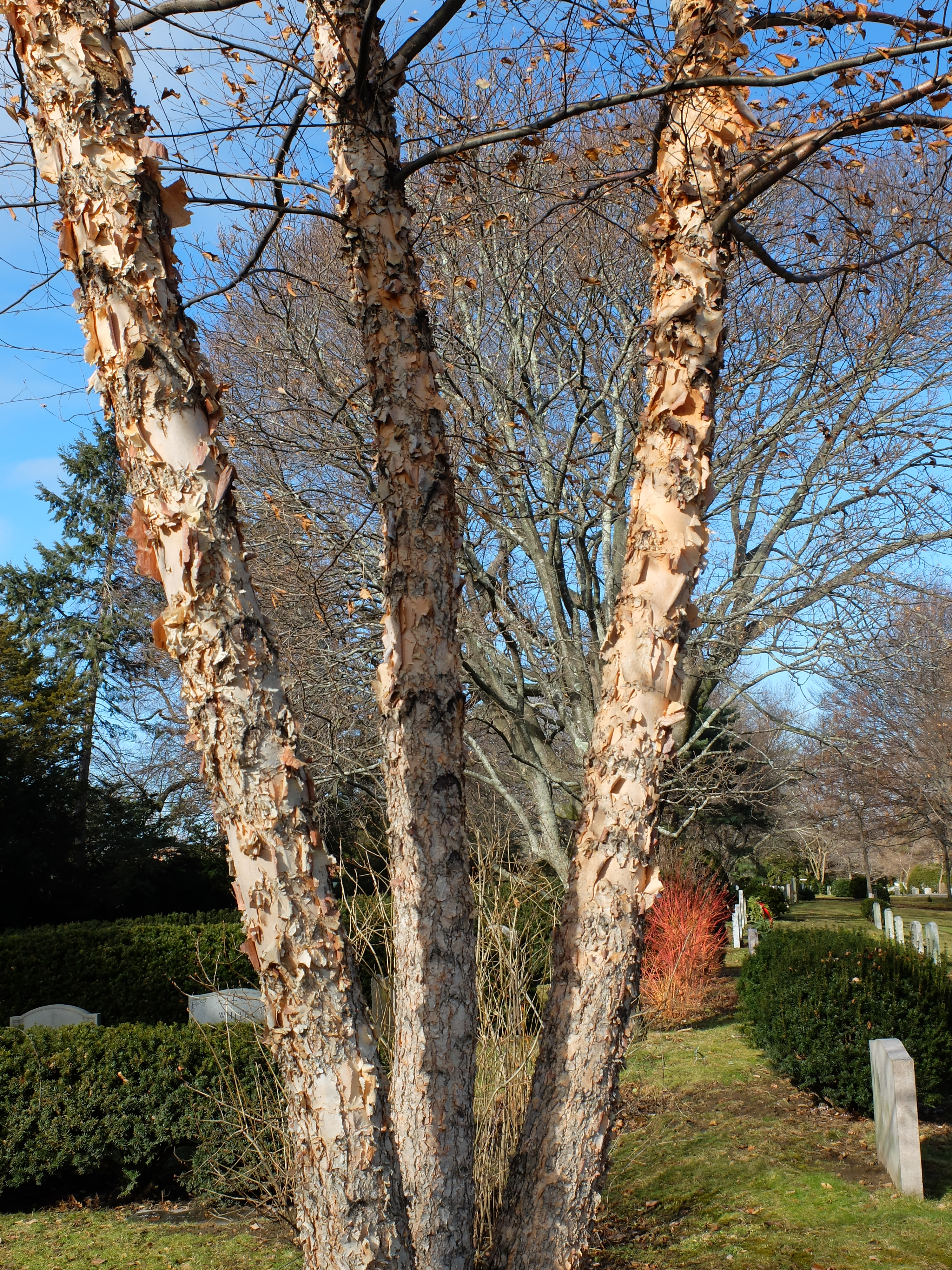 Pennsylvania Horticultural Society >> Horticulture Highlight: Cully Heritage River Birch, Betula nigra 'Cully' | Mount Auburn Cemetery