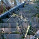 Bottlebrush Grass