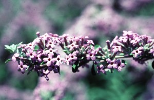 Buddleia alternifolia flw