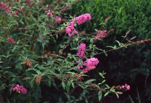 Buddleia davidii Nanho Purple flw