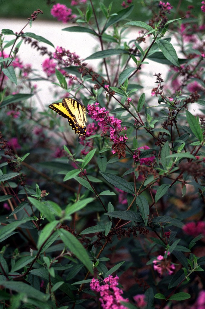 Buddleia davidii Nanho Purple with Tiger Swallowtail