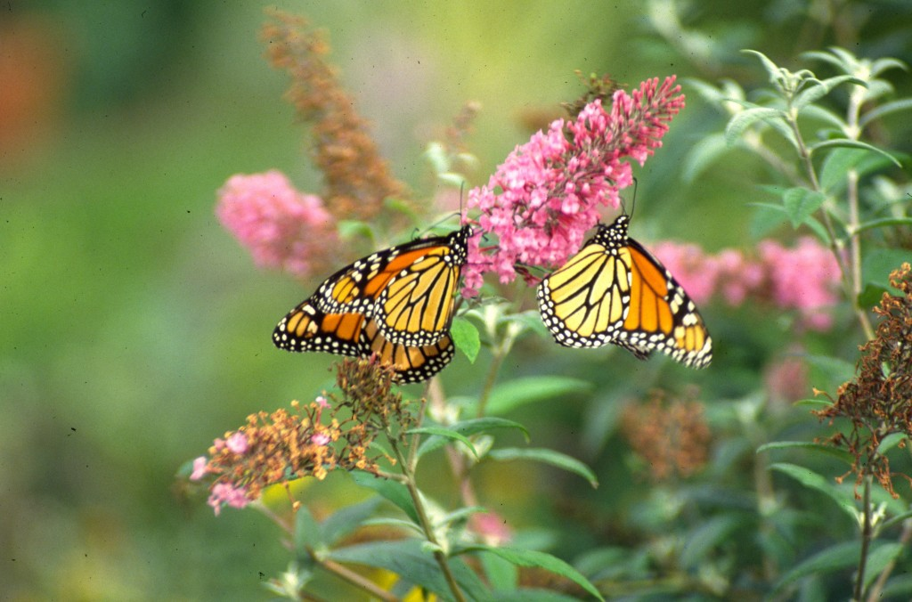 Buddleia davidii Pink with Monarchs