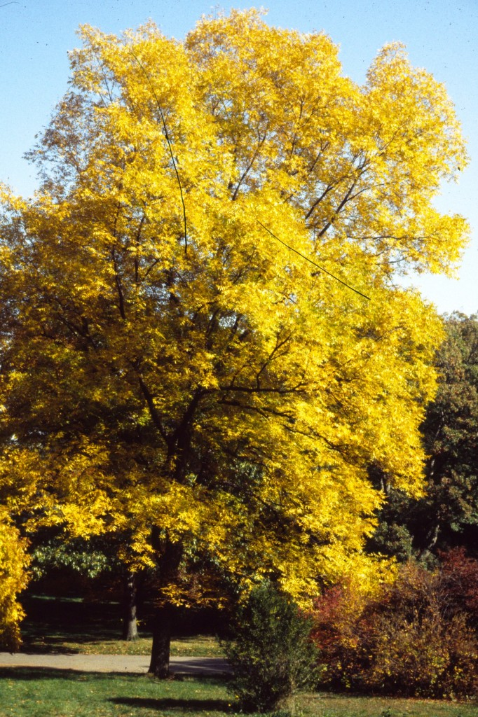 Carya illinoisensis Fall