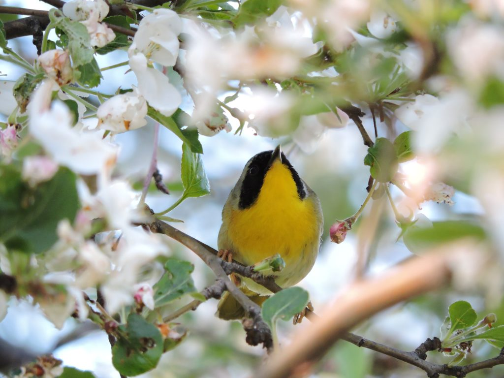 common-yellowthroat-2