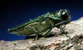 Emerald Ash Borer Figure 1 Adult. David Cappaert, Michigan State University, www.invasive.org