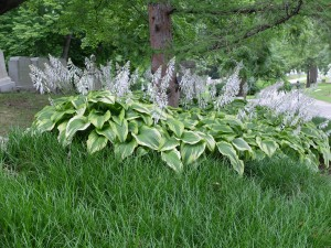Hosta 'Frances Williams'  MAC1