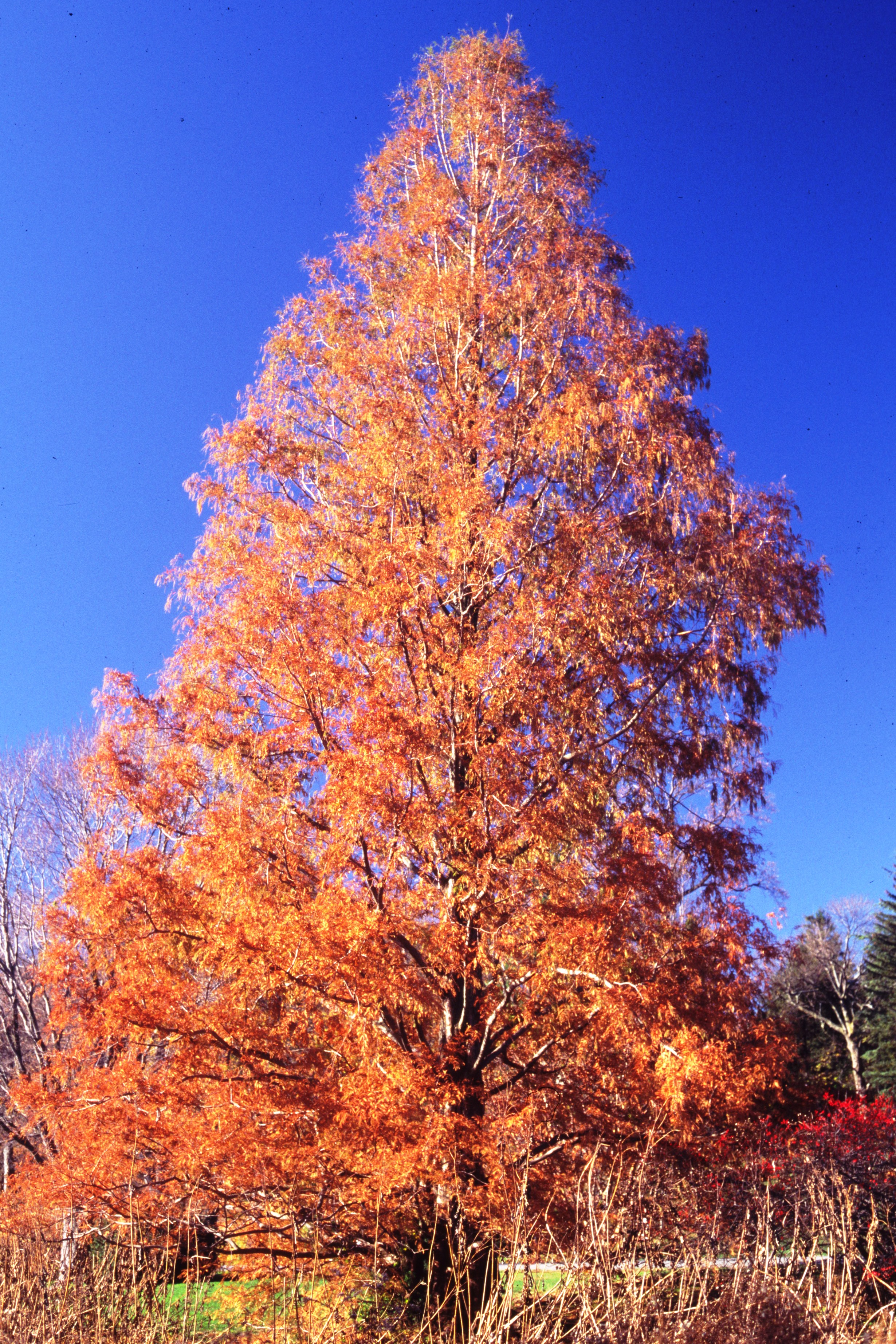 Horticultural Highlight Dawn Redwood Metasequoia