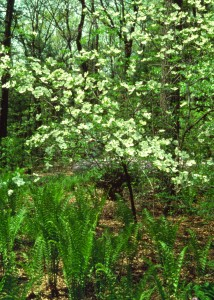 Ostrich Fern & Flowering dogwood