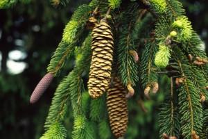 Picea abies cones male flowers