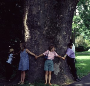 Platanus occidentalis 24 foot trunk (2)
