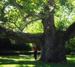 Platanus occidentalis 27 foot trunk