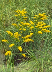Solidago sempervirens with Spartina breviligularia