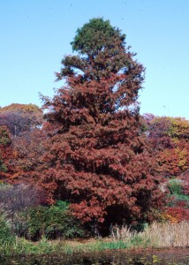 Taxodium distichum H fall