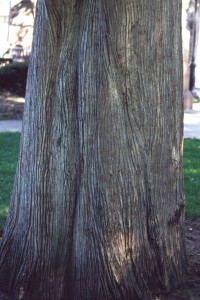 Taxodium distichum bark