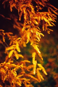 Taxodium distichum lvs fall