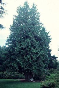thuja-plicata-habit-with-man