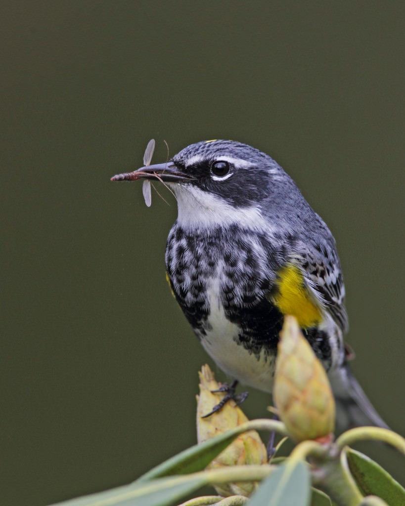 Yellow-rumped Warbler In Rhododendron by Brooks Mathewson