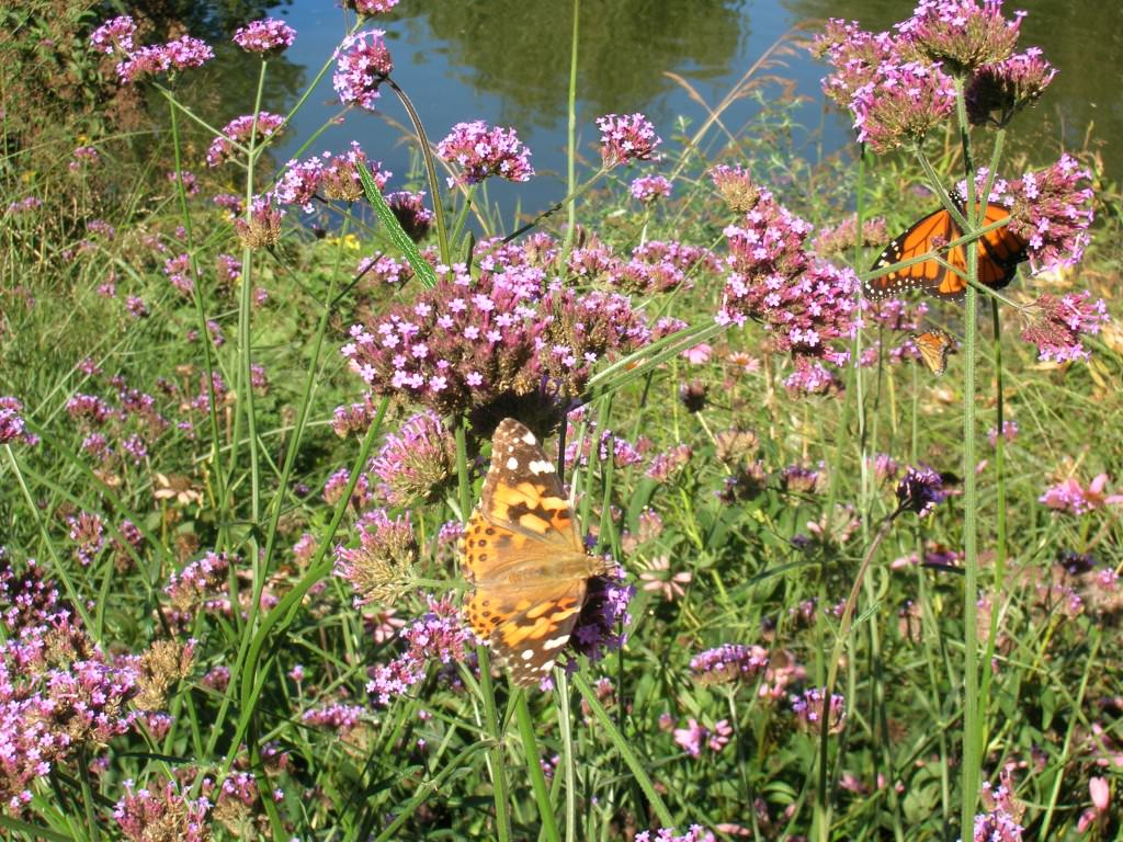 Willow Pond Butterfly Garden - Monarch and Painted Lady