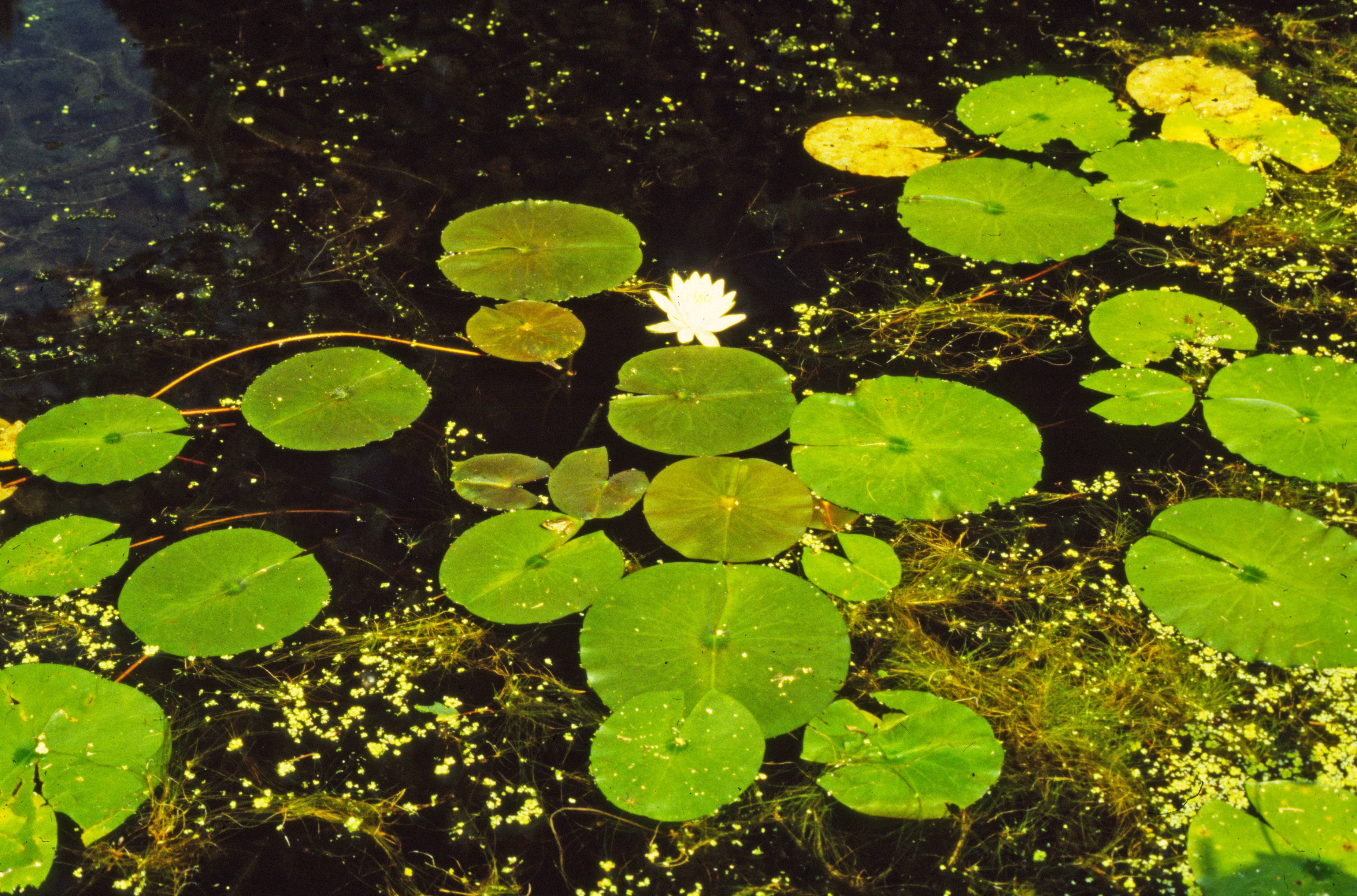 Horticulture highlight fragrant water lily nymphaea odorata as you look down on the lily it is a pure white star centered with yellow with its short central anthers orange yellow water lily floats izmirmasajfo
