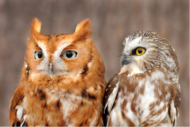 Eastern Screech Owl and Northern Saw-whet Owl