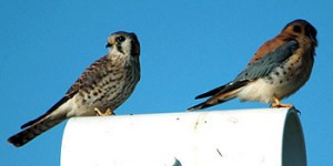 A pair of Kestrels on a vent pipe at Wheelabrator.