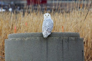 Snowy Owl at Wheelabrator